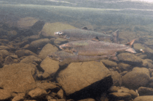 Atlantic Salmon courtesy NOAA Fisheries