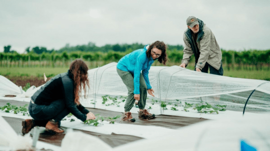 Professor of entomology Greg Loeb works with doctoral students at a Cornell AgriTech strawberry low tunnel field courtesy Justin Muir; Cornell University