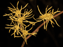 American witch-hazel plant by Judy Gallagher