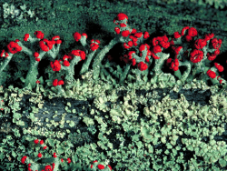 British soldier lichen provided by Environmental Protection Agency