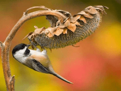 Chickadee by Marie Read