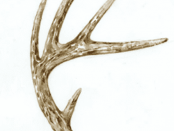 antler by adelaide tyrol
