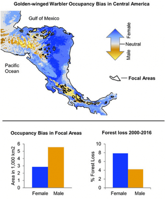 golden winged warbler occupancy bias in central america