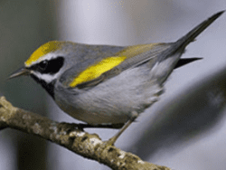 male Golden winged Warbler by Jack Hruska