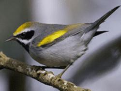 male Golden winged Warbler by Jack Hruska