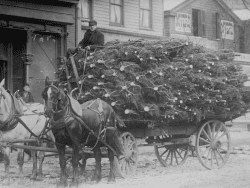 Bringing Christmas trees to market circa 1910