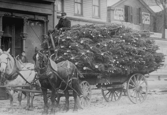 Bringing Christmas trees to market circa 1910