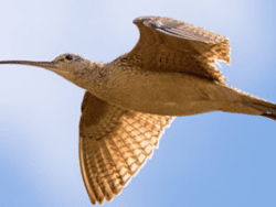 Long-billed Curlew by Nick Saunders