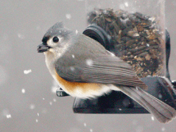 Tutfted Titmouse by Nicolas Main Macaulay Library