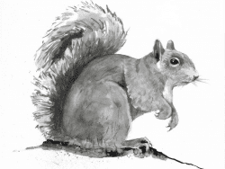 grey squirrel by adelaide tyrol