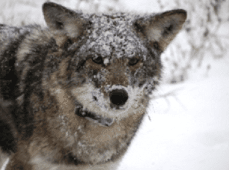 Eastern coyote radio-collared by researchers at DEC and SUNY ESF