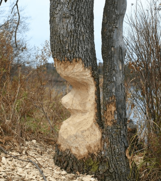 beaver tree gnawing by Steve Hall
