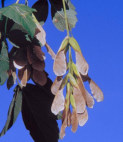 Boxelder leaves and seeds courtesy USDA