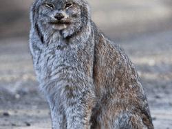Canada Lynx by Jacob W Frank National Park Service