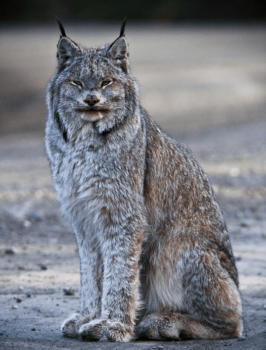 Canada Lynx by Jacob W Frank National Park Service