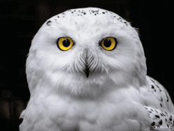 female Snowy Owl by Joe Kostoss of Eye in the Park