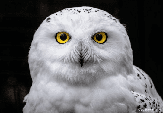 Male Snowy Owl by Joe Kostoss of Eye in the Park