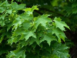 Norway Maple by Wikimedia user Martin Bobka