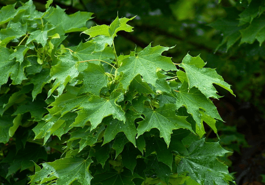 Norway Maple by Wikimedia user Martin Bobka