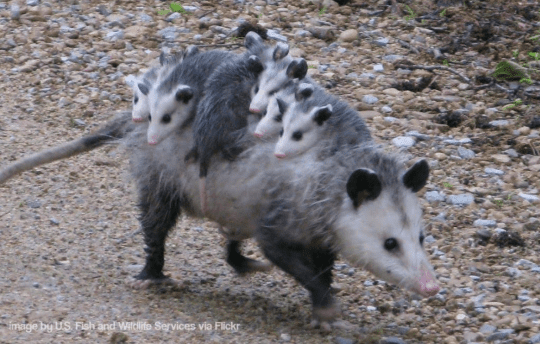 Possums courtesy US Fish and Wildlife