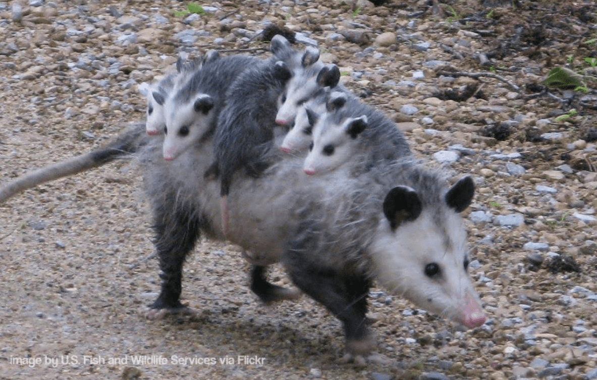 Don T Make Fun Of Possums The