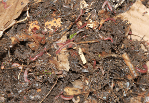 Vermicomposting uses worms to decompose waste courtesy Wikimedia user ChristopheFinot