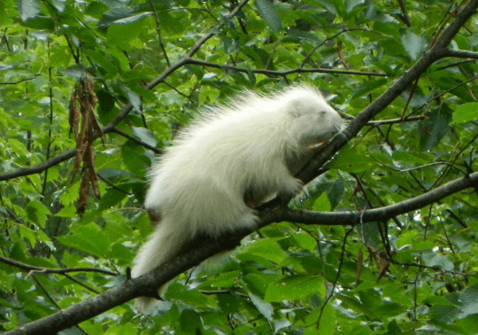 albino porcupine by David Plumley