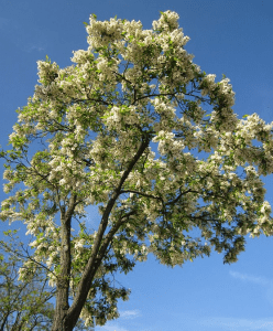 black locust tree courtesy wikimedia user AnRo0002