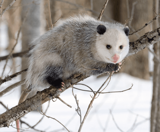 North American Opossum with winter coat by Wikimedia user Cody Pope