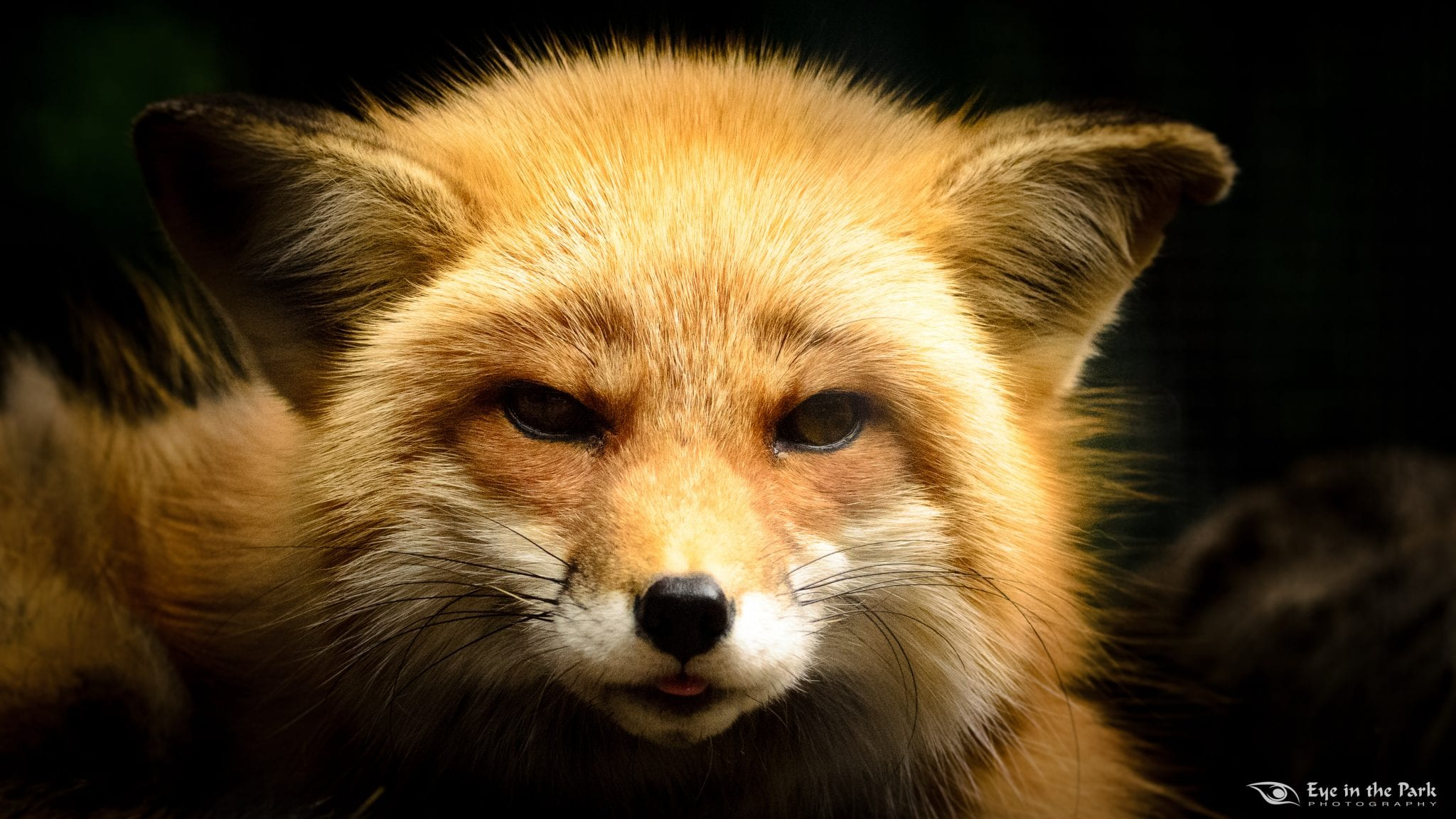 Red Fox Nature S Rodent Control The Adirondack Almanack