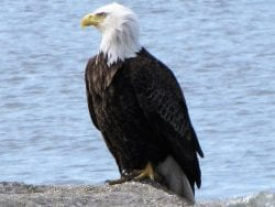 Bald Eagle: National symbol, bird of 'bad moral character'?