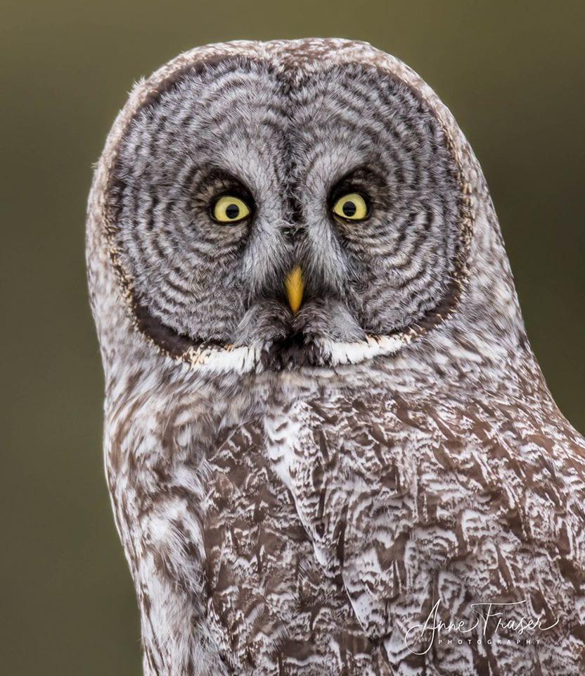 Great Gray Owl: One handsome bird - - The Adirondack Almanack