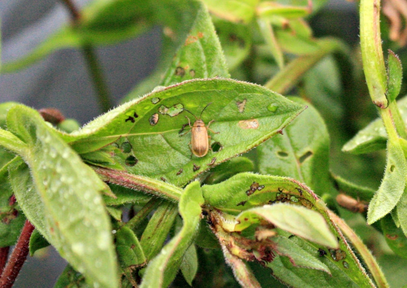An adult beetle feeding on a plant