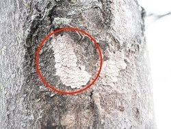 ReportSpotted Lanternfly Egg Masses this Winter