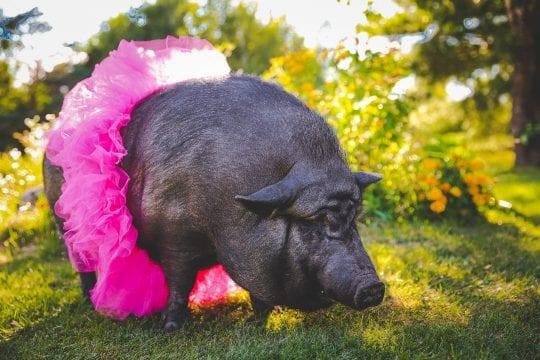 frank the pig