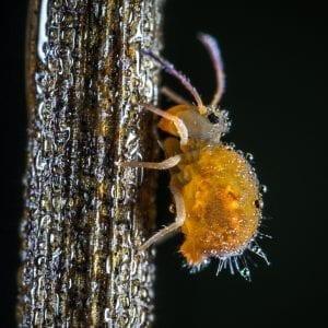 aphid honeydew