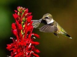 Native Plant Sale and Community Gardens to benefit Adirondack Pollinators