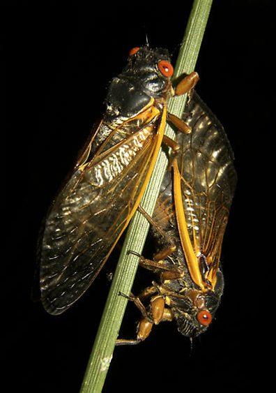 cicada pair
