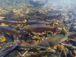 brook trout swimming in water