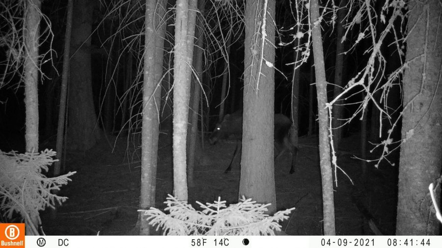 trail cam pic of moose