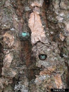Emerald ash borer adults chew D-shaped emergence holes to exit from ash trees. Photo credit: Debbie Miller USDA Forest Service; Bugwood.org
