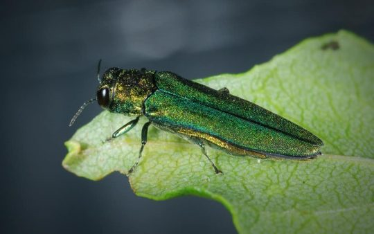 The emerald ash borer adult is a green buprestid or jewel beetle about 1/2 inch long.