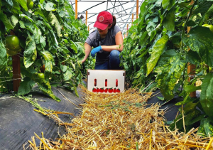 CCE Cornell Vegetable Program Aide Caitlin Vore harvesting high tunnel-grown tomatoes Photo Credit: Cornell Cooperative Extension Vegetable Program