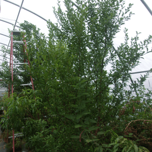 Fruit trees growing in a high tunnel at Summit Farm Photo credit: Summit Farm