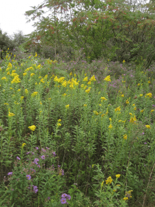 Goldenrod and New England Aster – David D Taylor US Forest Service