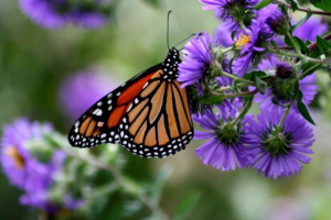 Monarch-Butterfly-on-New-England-Aster-–-Rick-L-Hansen-US-Fish-and-Wildlife-Service