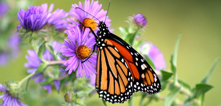 Monarch-Butterfly-on-New-England-Aster-2-–-Rick-L-Hansen-US-Fish-and-Wildlife-Service.