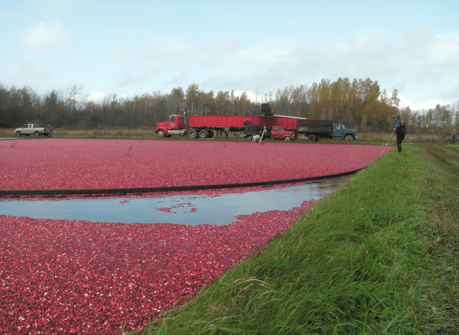 Gathering cranberries with a floating 'boom'
