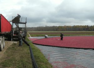 Once berries are rounded up, they're pumped into a waiting truck through a machine which removes debris