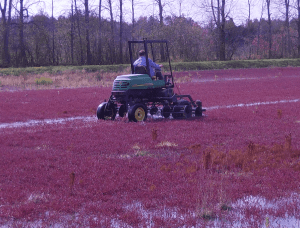 When harvesting cranberries, a machine with rotating reels on the front is used to agitate the water and release the berries from the vines